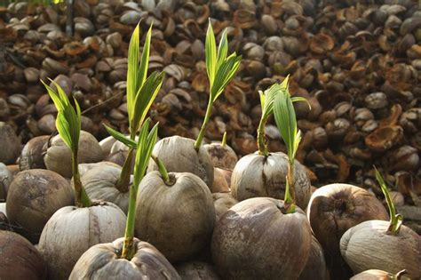 How To Grow A Coconut From Seed Hunker