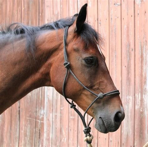 horse halter face head mare profile equine harness mustang bay horses pretty stallion rope bridle alert resting choosing mane training