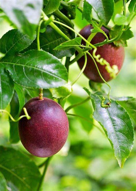 Marakuja / Passiflora Edulis / SADNICE