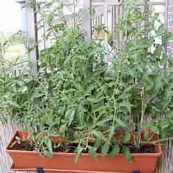 tomaten pflanzen balkon tomaten pflanzen balkon topf carprola for