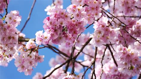 Japanese Cherry (sakura) Blossom With Pink Flowers On The