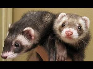 Cute Funny Ferrets Compilation 2014 [NEW] - YouTube