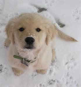 Christmas Golden Retriever Puppy