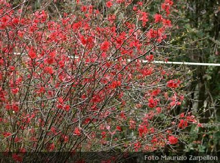 arbusti dai fiori rosei chaenomeles cydonia arbusti della famiglia delle rosaceae