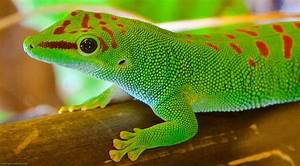 Madagascar Giant Day Gecko | This lizard typically reaches ...