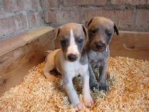 **2 STUNNING MALE WHIPPET PUPPIES FOR SALE!** | Nottingham ...