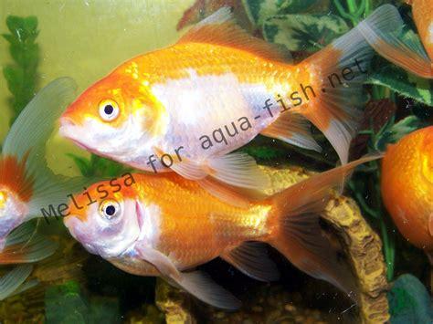 maladie des poissons rouges d aquarium avant d acheter un poisson