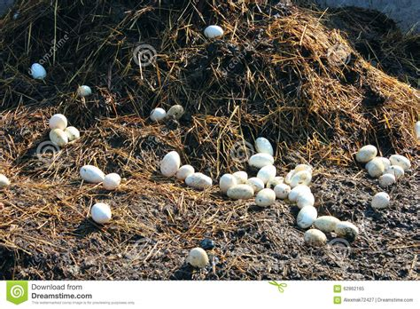 goose shed goose eggs on the heap of the dung stock photo image