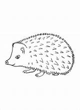 Hedgehog Coloring Pages Line Drawing A4 Colouring Hedge Template Hedgehogs Colour Printable Sheet Draw Drawings Cartoon Poster Animals Results Porcupines sketch template