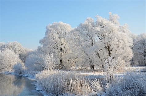 white trees photograph by gynt