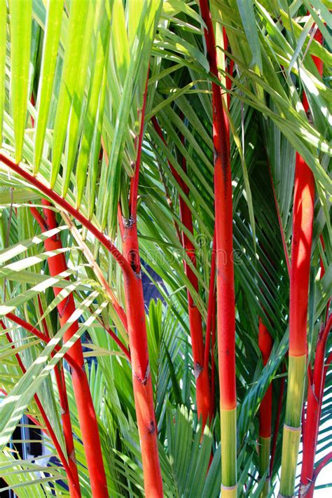 Cyrtostachys Renda Or Lipstick Palm Stock Image - Image of ...