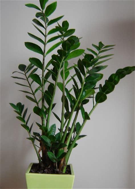 pflanzen die wenig licht brauchen zimmerpflanzen die wenig licht brauchen gl 252 cksfeder