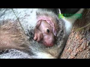 Baby Koala: A Joey moves in its pouch at the Taipei Zoo ...
