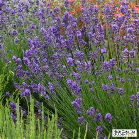 lavender bushes perennials munstead violet english lavender lavandula angustifolia munstead violet high country gardens
