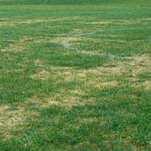 yard grubs photos lawn grubs green landscaping
