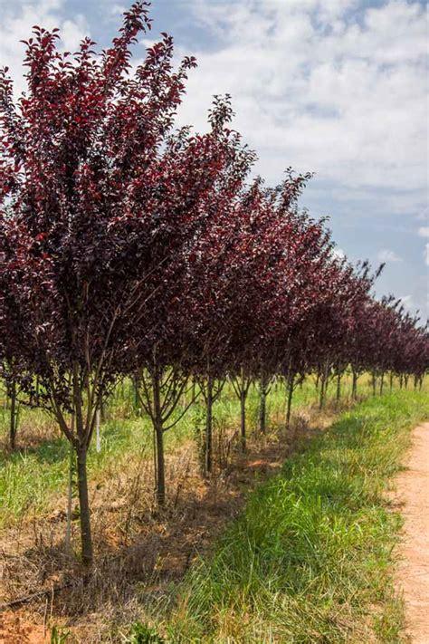 purple leaf flowering plum tree purple leaf plum prunus cerasifera river s edge nursery