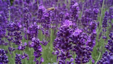 lavender for flies 12 plants that repel unwanted insects mnn mother nature network