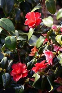 Rote Haselnuss Kaufen : kamelie rote bl te camellia japonica rote bl te g nstig online kaufen ~ Michelbontemps.com Haus und Dekorationen