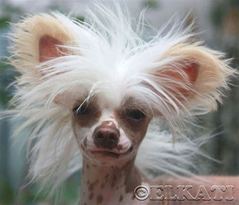 chinese crested rock stars images  pinterest