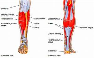 Muscles Of The Lower Extremities  Muscular System