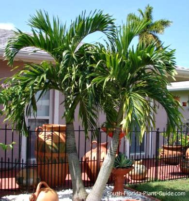 christmas palm trees adonidia palm gardening guide