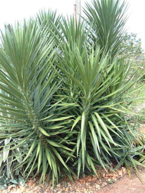 yucca plante interieur ou exterieur yucca pied d 233 l 233 phant yucca elephantipes fiche plante