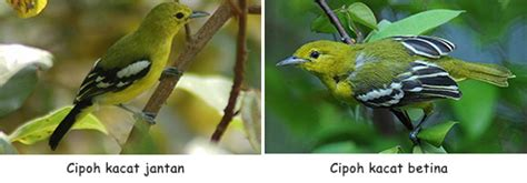 Now we recommend you to download first result burung flamboyan ribut paling ampuh buat pikat mp3. Perbedaan Burung Cipoh Jantan dan Betina - Info Pendidikan ...