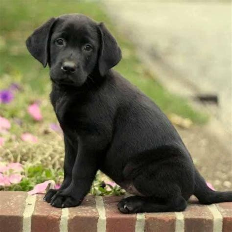 best ideas about labradors on best 25 black lab puppies ideas on black labs