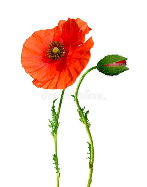 poppy flower and bud isolated on white stock of beautiful pretty 11100888