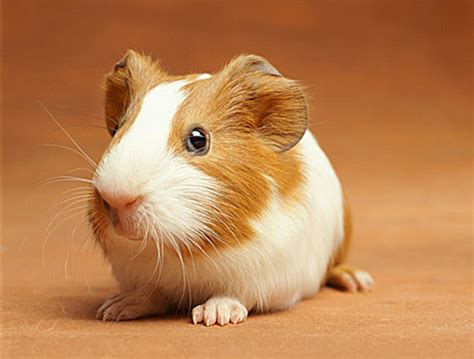 ginnie pig guinea pig wildlife the wildlife