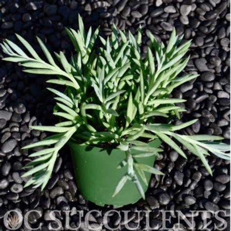 Senecio | OC Succulents | Wholesale Garden Supply in Irvine