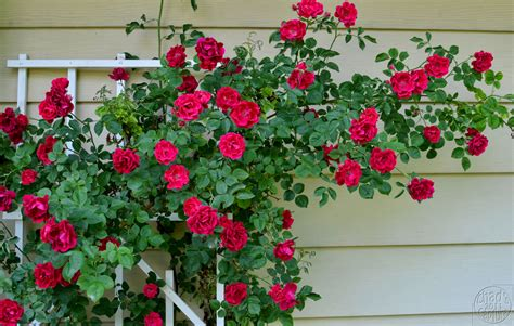 All About Climbing Roses  Stark Bro's