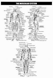 Skeletal System Worksheet Pdf New Skeletal System