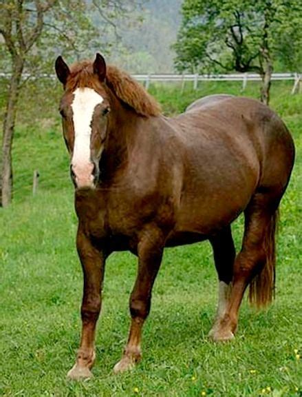 horses cold horse blood draft blooded breeds coldblood environment thoroughbred extinct germany german breed