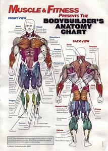 Musculature Anatomy Chart In Color