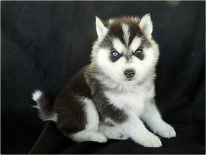 Timber Wolf Dogs For Sale   Wolf Dog Puppy (Husky/Timber ...