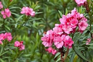 Laurier Rose Maladie : laurier rose medisite ~ Melissatoandfro.com Idées de Décoration