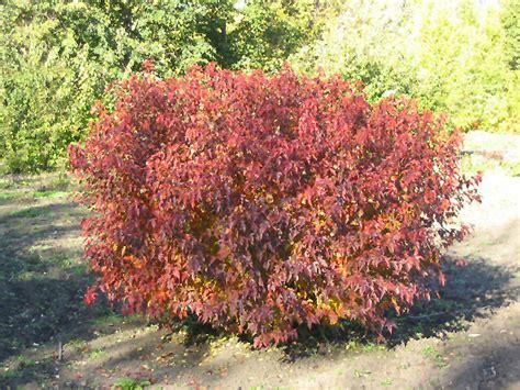 amur maple atomic amur maple acer ginnala durglobe in winnipeg headingley oak bluff manitoba mb at