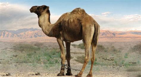 Camel Facts, Pictures And Habitat Information