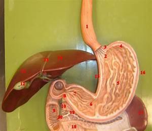 esophagus cardia cardiac sphincter fundus body with rugae ...