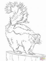 Skunk Coloring Drawing Pages North Striped American Skunks Printable Drawings Line America Animals Spotted Forest Woodland Getcoloringpages Eastern Creatures Getdrawings sketch template