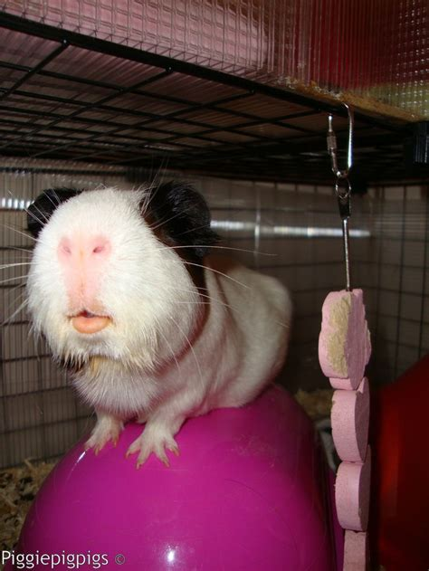Aspen Bedding For Guinea Pigs by 17 Best Images About Guinea Pigs On Guinea