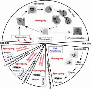 Babesia And Its Hosts  Adaptation To Long