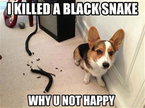 Funny Corgi Memes - best corgi memes part 1 corgi dogs