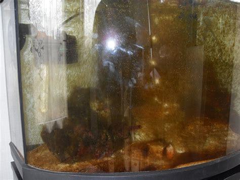 algues brunes aquarium eau douce quelques liens utiles