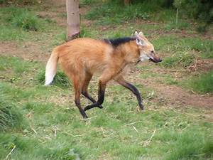 maned wolf running by kez2009 on DeviantArt