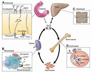 Overview Of Iron Homeostasis  The Central Portion Of The