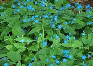 Bodendecker Blaue Blüten : omphalodes verna waldgedenkemein bodendecker blaue bl ten ~ Frokenaadalensverden.com Haus und Dekorationen
