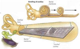 Inner Ear Cochlea