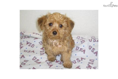 do yorkie poos shed teacup no shedding breeds picture